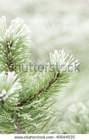 Pine tree covered with frost.