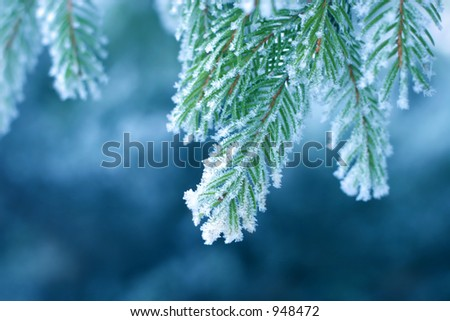 Pine tree covered with frost, blue toned - stock photo