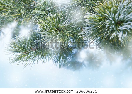 Pine tree covered with frost. Winter background - stock photo
