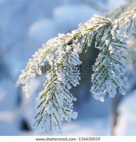 Pine tree covered with hoar frost close-up (shallow DoF) - stock photo