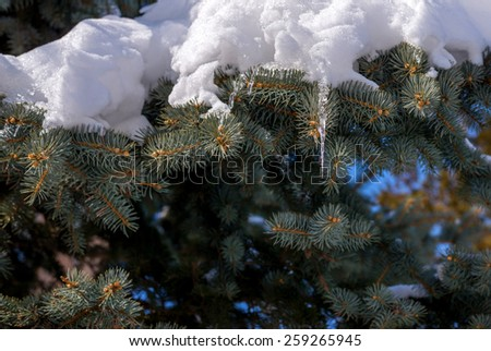 Pine tree covered with snow. Selective focus with shallow depth of field. - stock photo