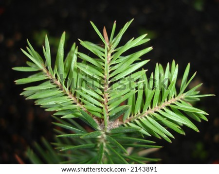 Pine Tree Edge - stock photo