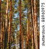 Pine Tree Forest - stock photo