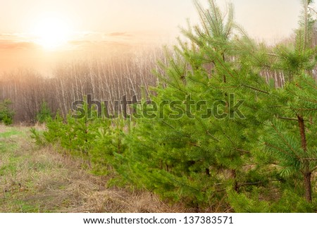 pine tree forest at the early morning - stock photo