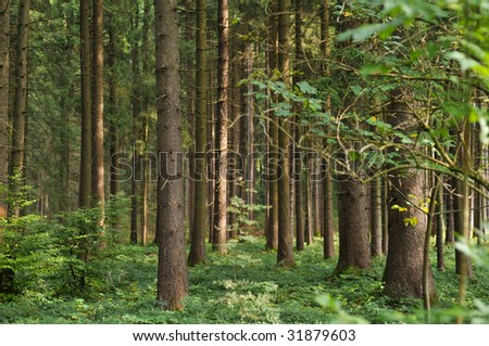 Pine tree forest easy lighten - stock photo