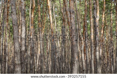 Pine tree forest. Europe, march, spring.