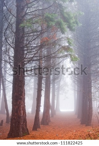 pine tree forest in a mist - stock photo