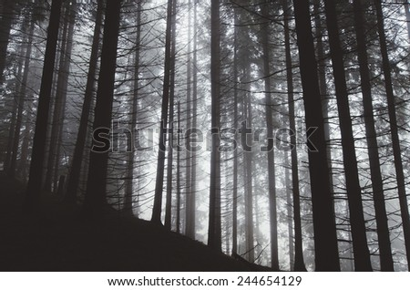 pine tree forest in mist - stock photo
