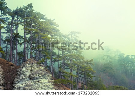 pine tree forest on a mount slope in a mist - stock photo