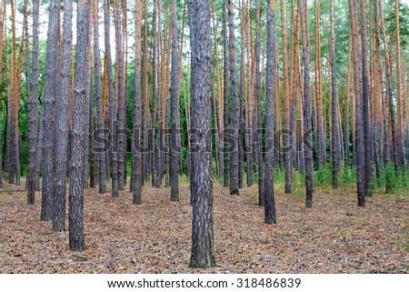 pine tree forest scene - stock photo