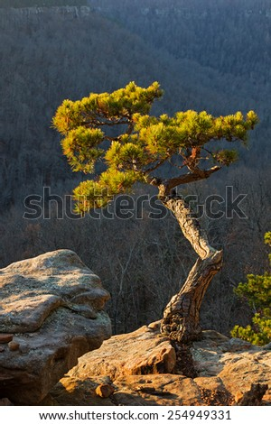 pine tree growing on cliff edge lit up by early morning light - stock photo