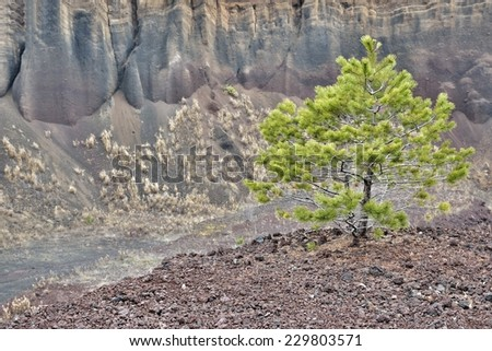 Pine tree grown in volcanic rock - stock photo
