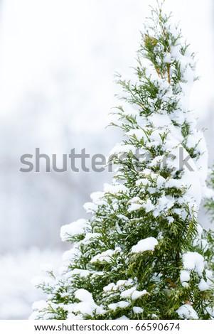 Pine-tree in snow - shallow DOF - stock photo