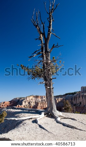 Pine tree in the desert of Bryce Canyon National Park with exposed roots and almost dead but still with a few branches