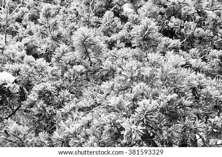 pine tree in the snow, fir tree branch with snow - stock photo