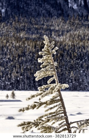 Pine Tree in Winter snow covered Alberta - stock photo