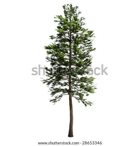 pine tree isolated - stock photo