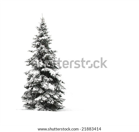 Pine tree isolated on white - stock photo