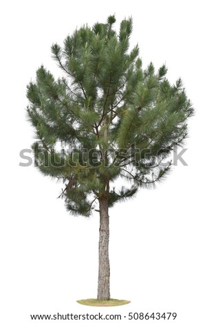 Pine tree isolated on white background. This has clipping path.