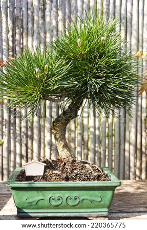 Pine Tree. It is one of the classic bonsai subjects. Bonsai is is a Japanese art form using miniature trees grown in containers. - stock photo