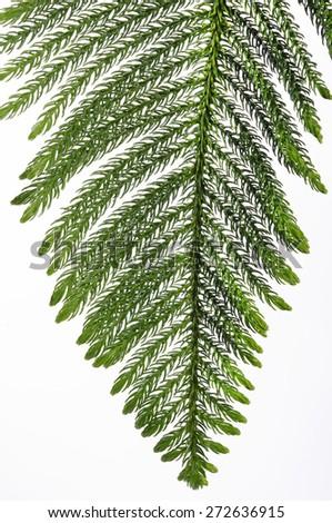PINE tree leaf on white background - stock photo