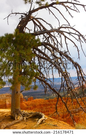 Pine tree on a cliff in Bryce Canyon. Bryce Canyon rock formation and tree with large exposed roots. - stock photo
