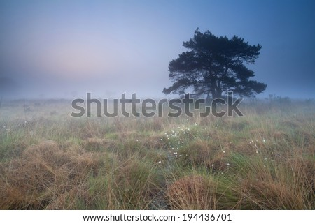 pine tree on marsh at misty sunrise, Drenthe, Netherlands - stock photo