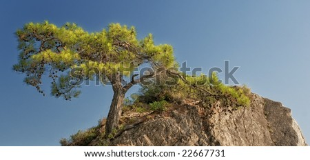 Pine Tree on the Rock in Summer
