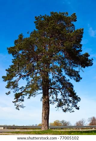 Pine tree over blue sky - stock photo