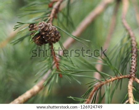 Pine tree pine cone and branches - stock photo