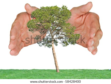 Pine tree  protected by hands