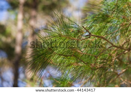 Pine tree shoots - stock photo