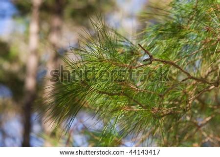 Pine tree shoots - stock photo