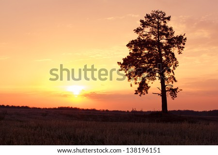 Pine tree standing in the wheat field on sunset