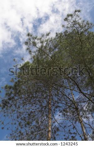 pine tree-top in sunshine - stock photo