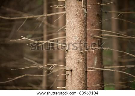 pine tree trunk - stock photo
