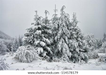 Pine tree winter - stock photo