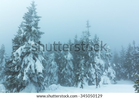 pine tree winter forest in a mist