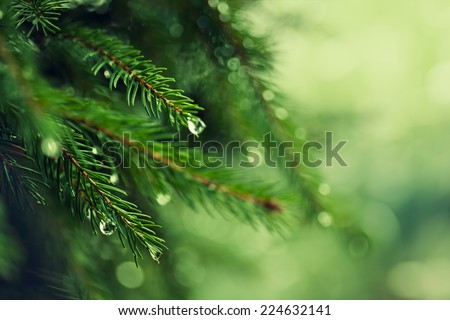 Pine tree with morning dew on the twig, abstract natural backgrounds - stock photo