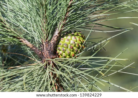 Pine tree with pine cone - stock photo