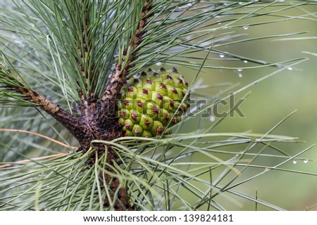 Pine tree with pine cone after  a rain shower - stock photo