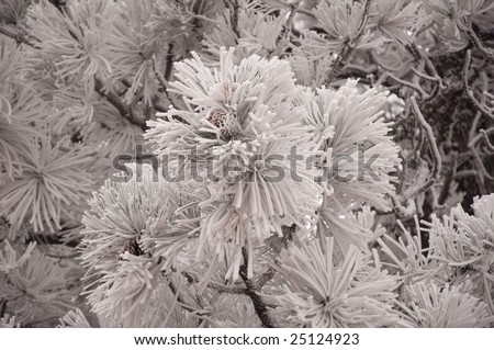 Pine tree with snow white leaves in park - stock photo