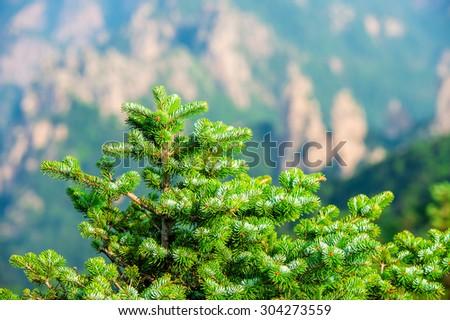 pine trees. - stock photo