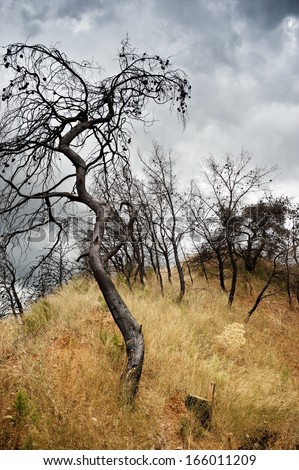 Pine trees after bushfire  - stock photo