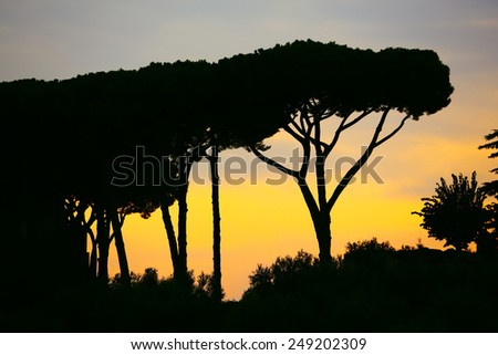 Pine trees against sunset in Rome, Italy. - stock photo