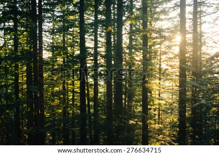 Pine trees along the Mirror Lake Trail at sunset, in Mount Hood National Forest, Oregon. - stock photo