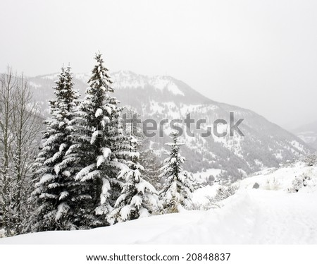 Pine trees and forests in Snowstorm in the Queyras region of the French Alps