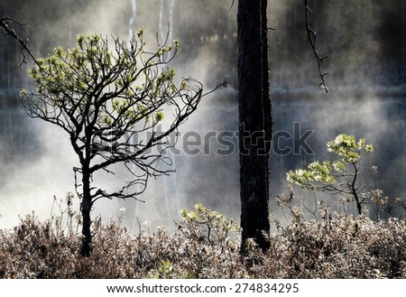 Pine trees at the bank of small pond in wilderness at Tammela, Southern Finland. Early May morning  - stock photo