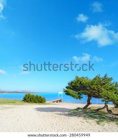 pine trees by the sea in Stintino, Sardinia - stock photo