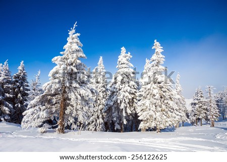 Pine trees covered in snow on winter season in Poiana Brasov, Romania